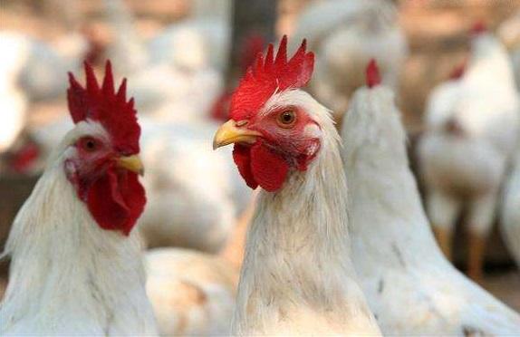 众安科技要用区块链技术养鸡